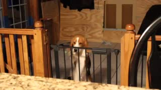 Beagle trying to escape