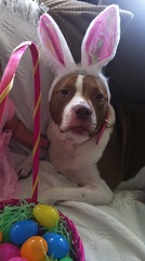 Pit Bull Makes A Cute Easter Bunny!