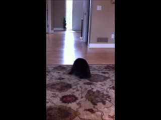 Cat chasing her tail