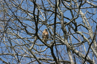 Red-Hooded Hawk
