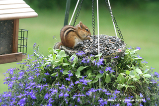 Chipmunk at Bird Feeder