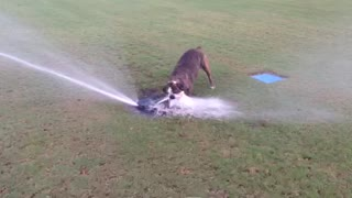 Dog drinking from golf course sprinkler