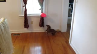 Balloon popping dachshund