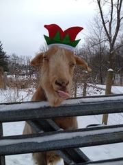 Arthur the Christmas goat.