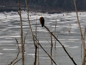 Bald Eagles at Hillsdale Lake