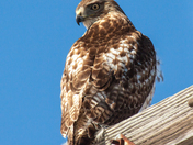 Red Tailed hawk Rye NH