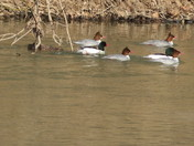 mergansers on the move