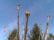 First buds of the season.