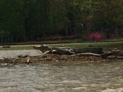 Picture of large alligator on the Ross Barnett reservoir