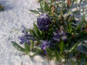 Spring Flowers covered in snow.
