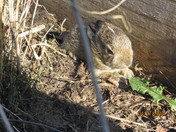 Baby Cotton Tail Rabbit