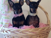 Toy Manchester Terriers ,Courtney & Brittney