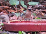 Cedar Waxwings getting a quick drink