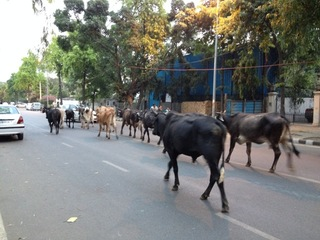 Republic of India's version of Pamplona's Running of the Bulls..