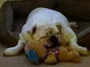 Crisco. the bulldog