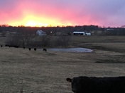 Cow poses for Fire Sunset  - Liberty, MO