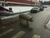 Pig at the Polls in Pelham!