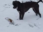Bruno playing with his log in the snow