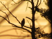 Eagle In The Sunset !!
