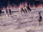 Bambi and Friends at Bosque del Apache