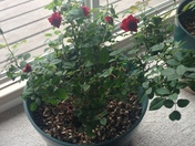 Spring must be coming!! The rose bush I bring inside is blooming!