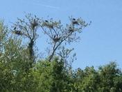 Follow-Up Heron Nests