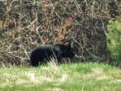 Bear are out!