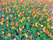 Pella Tulip Time