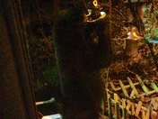 Black Bear in Manchester