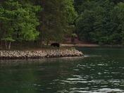 Bear spotted on Lake Keowee