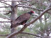 Turkey vulture/buzzard