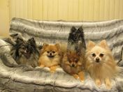 Louie the Blue Merle Pomeranian and family.