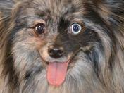 Louie the Blue Merle Pomeranian