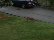 A Coyote in the yards of Bethel Park