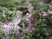Ice in the garden in May!