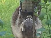 Raccoon/ bird feeder
