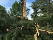 100 year old tree struck by lightning