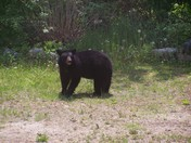 Young Bear, Water Village, Ossipee