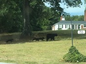Bears in Downtown Travelers Rest!