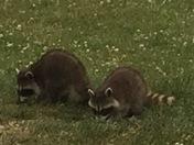 Afternoon visitors, Canterbury,NH