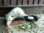 Opossum in my yard