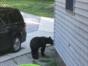 Bear in Elkridge