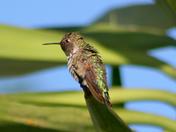Hummingbird in June