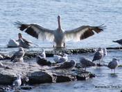 Pelican Stretch