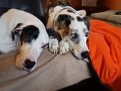 Great Dane Bookends