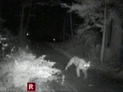 Mountain Lion in Lompico early Tuesday Morning 8/16/16
