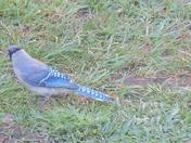 Baby Blue Jay In West Newton!