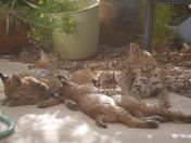 Mama Bobcat and 4 Babies