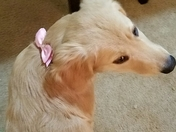 Mercy, our girly girl Golden with her bow and pearls