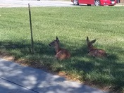 Two baby deer in the middle of Council Bluffs.